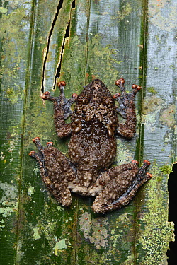 Rough Tree Frog (Theloderma horridum), first photographic record of this rare species in Sarawak, Lambir Hills National Park, Borneo, Malaysia  -  Ch'ien Lee