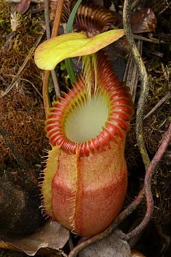 Villose Pitcher Plant (Nepenthes villosa) pitcher, Mount Tambuyukon form, Gunung Tambuyukon, Mount Kinabalu National Park, Borneo, Malaysia  -  Ch'ien Lee