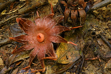 Rhizanthes (Rhizanthes lowii) flower mimics the smell of a rotting carcass to attract carrion flies which swarm around it to lay their eggs, Gunung Tambuyukon, Mount Kinabalu National Park, Borneo, Ma...  -  Ch'ien Lee