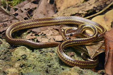 Colubrid Snake (Dryocalamus tristrigatus), Bau, Sarawak, Borneo, Malaysia  -  Ch'ien Lee