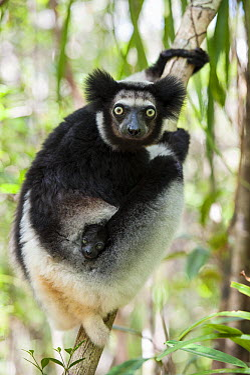 Indri (Indri indri) mother and five week old infant, eastern Madagascar  -  Suzi Eszterhas