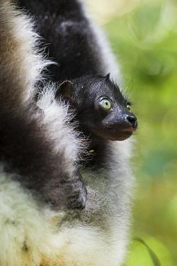 Indri (Indri indri) two week old infant, eastern Madagascar  -  Suzi Eszterhas