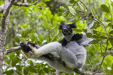 Indri (Indri indri) feeding on leaves, Andasibe Mantadia National Park, Madagascar  -  Suzi Eszterhas