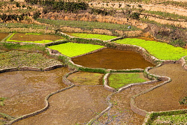 Rice (Oryza sativa) terraces in highlands, Madagascar  -  Konrad Wothe