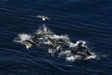 Common Dolphin (Delphinus delphis) pod feeding on sardines, California  -  Hiroya Minakuchi