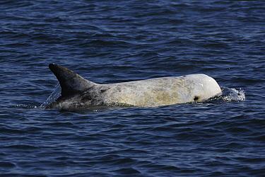 Risso's Dolphin (Grampus griseus) surfacing, California  -  Hiroya Minakuchi