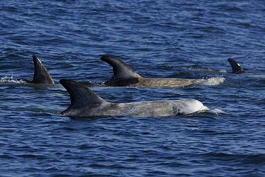 Risso's Dolphin (Grampus griseus) pod surfacing, California  -  Hiroya Minakuchi