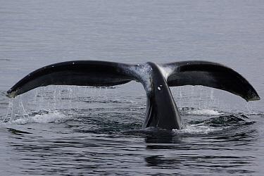 Bowhead Whale (Balaena mysticetus) diving, Denmark  -  Hiroya Minakuchi