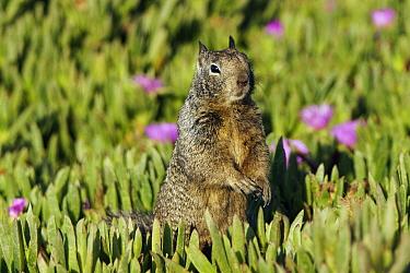 California Ground Squirrel (Spermophilus beecheyi) in iceplants, Monterey, California  -  Hiroya Minakuchi