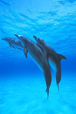 Atlantic Spotted Dolphin (Stenella frontalis) trio with Remoras (Remora sp), Bahamas, Caribbean  -  Hiroya Minakuchi