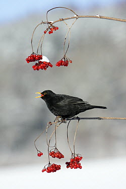 Eurasian Blackbird (Turdus merula) male feeding on berries, Lower Saxony, Germany, sequence 3 of 3  -  Duncan Usher