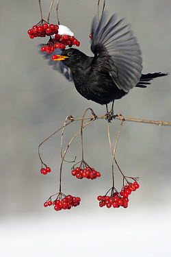 Eurasian Blackbird (Turdus merula) male feeding on berries, Lower Saxony, Germany  -  Duncan Usher