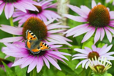 Small Tortoiseshell (Aglais urticae) butterfly feeding on Susan (Rudbeckia sp) flower nectar, Lower Saxony, Germany  -  Duncan Usher