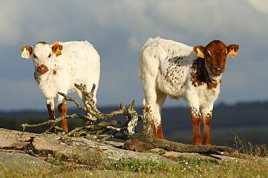 Ayrshire Cattle (Bos taurus) calves with ear tags, Alentejo, Portugal  -  Duncan Usher