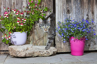 Domestic Cat (Felis catus) female Tabby emerging from shed, Lower Saxony, Germany  -  Duncan Usher
