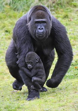 Western Lowland Gorilla (Gorilla gorilla gorilla) mother walking with young holding on, Arnhem, Netherlands  -  Duncan Usher