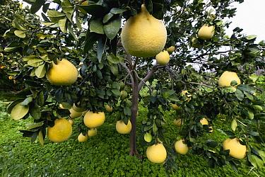 Grapefruit (Citrus x paradisi) fruit, Cyprus  -  Duncan Usher