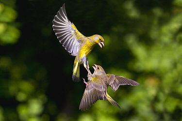 European Greenfinch (Chloris chloris) pair fighting while flying, Lower Saxony, Germany  -  Duncan Usher