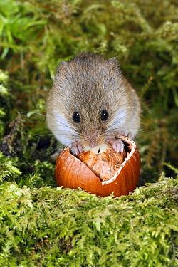 Harvest Mouse (Micromys minutus) feeding on hazelnut, Lower Saxony, Germany  -  Duncan Usher