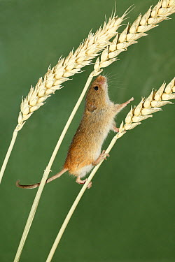 Harvest Mouse (Micromys minutus) climbing between wheat stalks using prehensile tail to balance, Lower Saxony, Germany  -  Duncan Usher