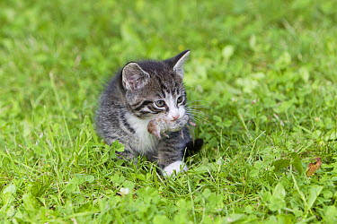 Domestic Cat (Felis catus) Tabby kitten with Common Shrew (Sorex araneus) prey, Lower Saxony, Germany  -  Duncan Usher
