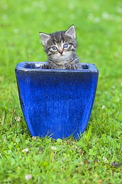 Domestic Cat (Felis catus) Tabby kitten in plant pot, Lower Saxony, Germany  -  Duncan Usher