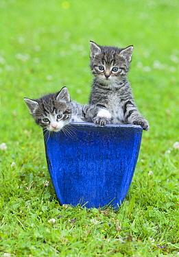 Domestic Cat (Felis catus) gray tabby kittens in plant pot, Lower Saxony, Germany  -  Duncan Usher