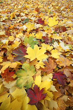 Sycamore (Acer Pseudoplatanus) leaves in autumn, Hessen, Germany  -  Duncan Usher