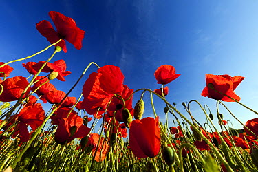 Red Poppy (Papaver rhoeas) flowers and buds, Lower Saxony, Germany  -  Duncan Usher