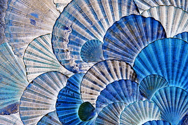 St James Scallop (Pecten jacobaeus) shells seen in ultraviolet light, Donana National Park, Andalucia, Spain, Sequence 2 of 2  -  Duncan Usher