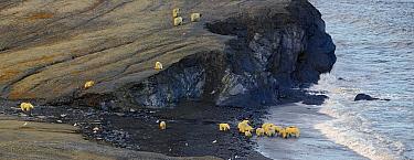 Polar Bear (Ursus maritimus) group scavenging on Pacific Walrus (Odobenus rosmarus divergens) carcass, Wrangel Island, Russia  -  Sergey Gorshkov