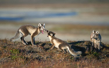Arctic Fox (Alopex lagopus) pups play-fighting with mother watching, Wrangel Island, Russia  -  Sergey Gorshkov