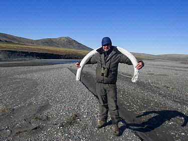 Woolly Mammoth (Mammuthus primigenius) tusk carried by Sergey Gorshkov, Wrangel Island, Russia  -  Sergey Gorshkov