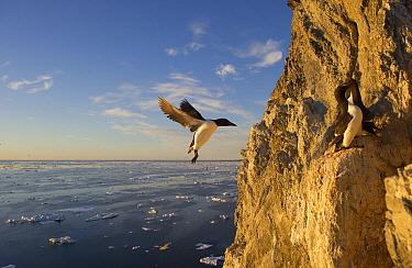 Brunnich's Guillemot (Uria lomvia) landing on cliff, Wrangel Island, Russia  -  Sergey Gorshkov