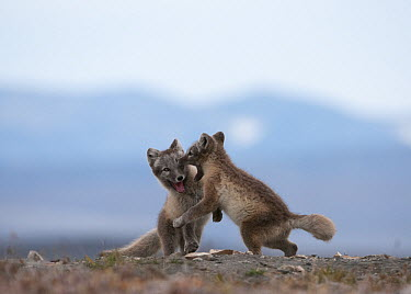 Arctic Fox (Alopex lagopus) pups playing, Wrangel Island, Russia. Sequence 4 of 5  -  Sergey Gorshkov