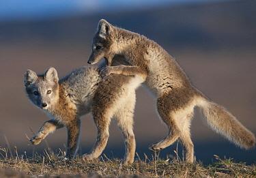 Arctic Fox (Alopex lagopus) pups playing, Wrangel Island, Russia  -  Sergey Gorshkov