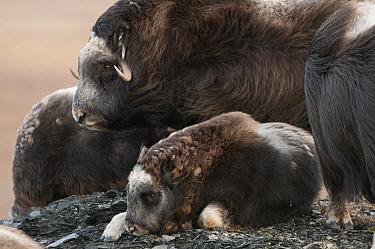 Muskox (Ovibos moschatus) calf resting near female, Wrangel Island, Russia  -  Sergey Gorshkov