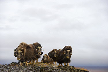 Muskox (Ovibos moschatus) herd, Wrangel Island, Russia  -  Sergey Gorshkov