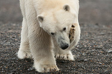 Polar Bear (Ursus maritimus) scratching itself, Wrangel Island, Russia  -  Sergey Gorshkov