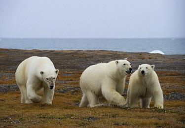 Polar Bear (Ursus maritimus) mother with full grown cubs, Wrangel Island, Russia  -  Sergey Gorshkov