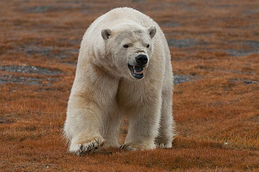 Polar Bear (Ursus maritimus) showing aggression, Wrangel Island, Russia  -  Sergey Gorshkov