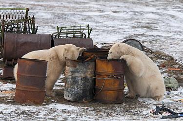 Polar Bear (Ursus maritimus) pair foraging for food in old drums, Wrangel Island, Russia  -  Sergey Gorshkov