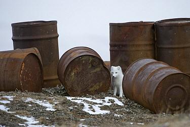 Arctic Fox (Alopex lagopus) next to abandoned rusting barrels, Wrangel Island, Russia  -  Sergey Gorshkov