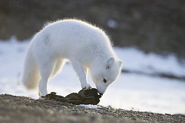 Arctic Fox (Alopex lagopus) smelling old clothing, Wrangel Island, Russia  -  Sergey Gorshkov