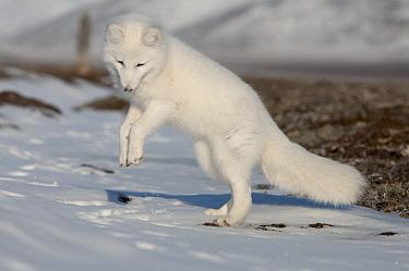 Arctic Fox (Alopex lagopus) pouncing, Wrangel Island, Russia  -  Sergey Gorshkov