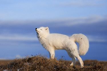Arctic Fox (Alopex lagopus) stretching, Wrangel Island, Russia  -  Sergey Gorshkov
