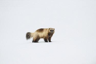 Wolverine (Gulo gulo) in snow, Wrangel Island, Russia  -  Sergey Gorshkov
