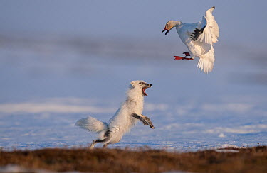 Arctic Fox (Alopex lagopus) chasing Snow Goose (Chen caerulesens) off its nest, Wrangel Island, Russia  -  Sergey Gorshkov