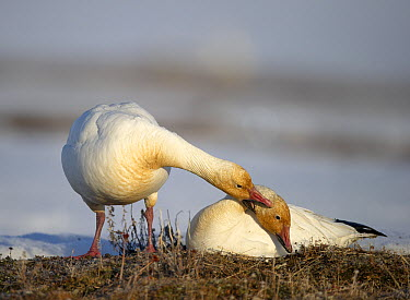 Snow Goose (Chen caerulescens) pair courting, Wrangel Island, Russia. Sequence 3 of 4  -  Sergey Gorshkov