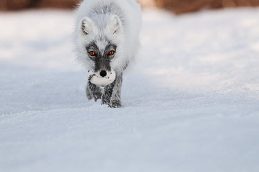 Arctic Fox (Alopex lagopus) carrying a Snow Goose (Chen caerulescens) egg in its mouth, Wrangel Island, Russia  -  Sergey Gorshkov